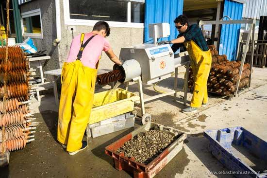 El desprendimiento de las ostras