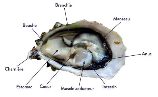 Anatomie der Auster
