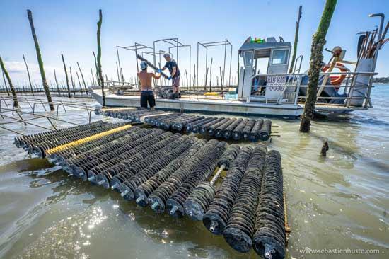 El trabajo de los colectores de ostras