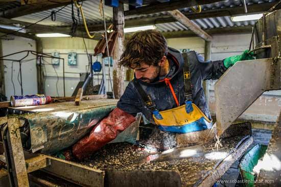 El trabajo en las larvas de las ostras