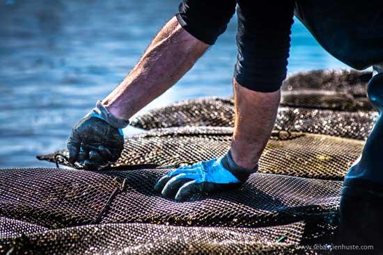 La división de los sacos de ostras
