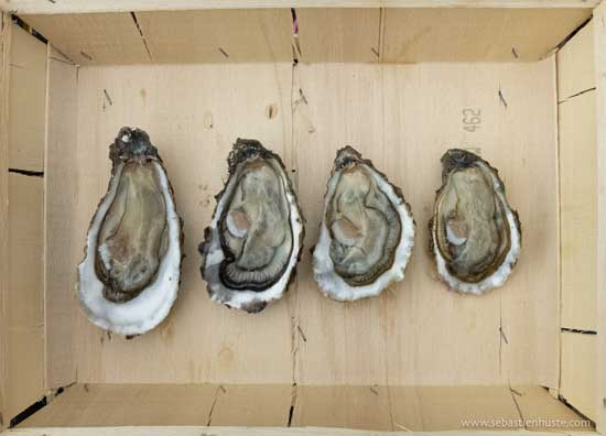 Qué tamaño para tus ostras